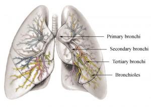 bronchi bronchus